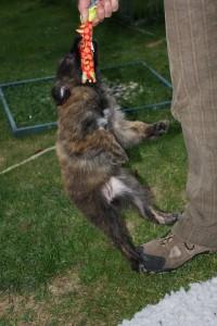 man kann es nicht so genau erkennen, aber - ihre Füsse hängen in der Luft... Muss wohl irgendwo ein Terrier in der Ahnentafel versteckt sein!